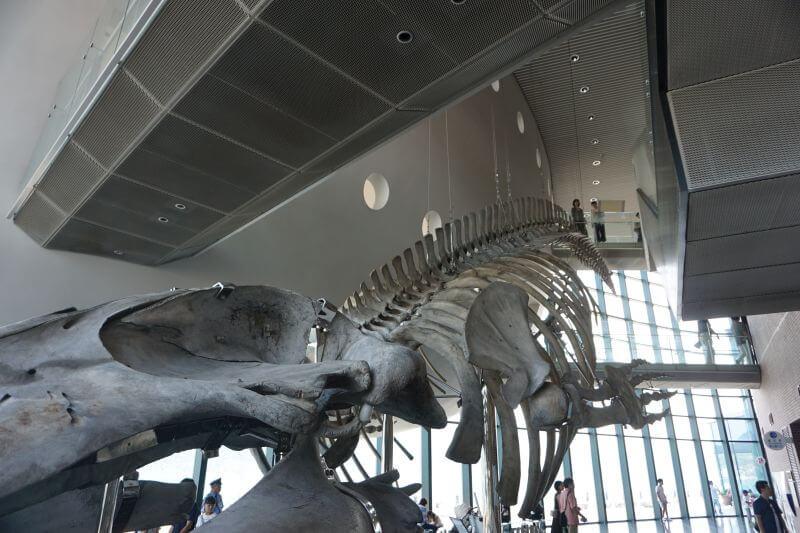 海響館的鯨魚骨頭標本3